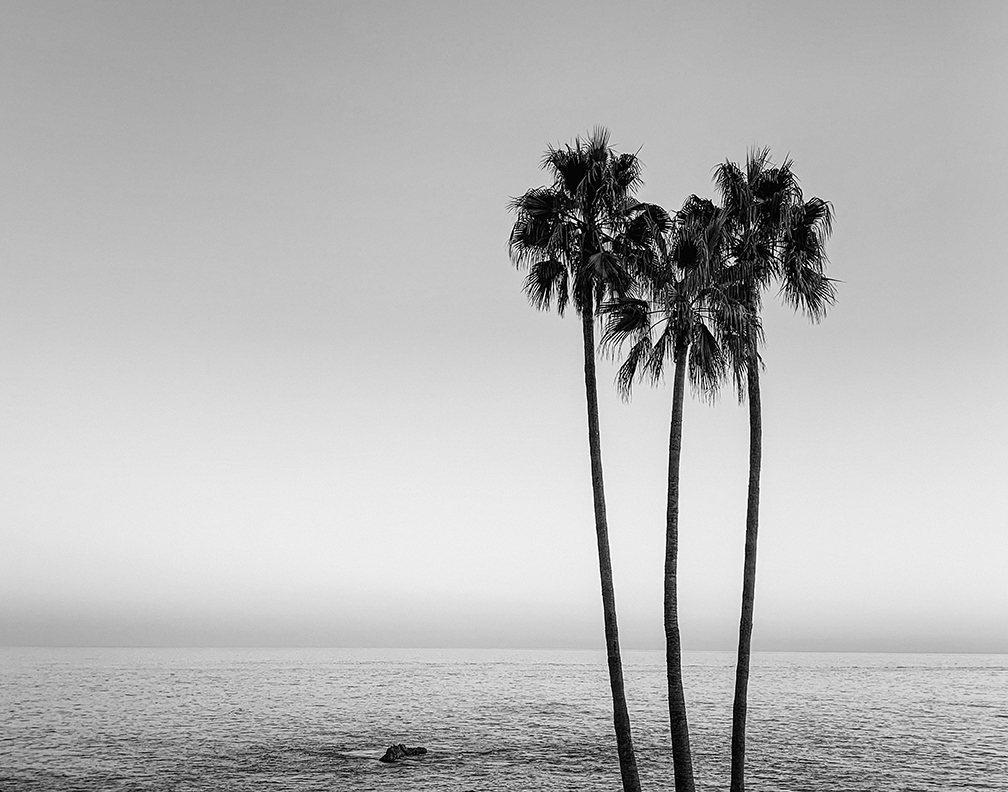 Black and White fine art photograph of palm trees in Laguna Beach California captured at sunset.